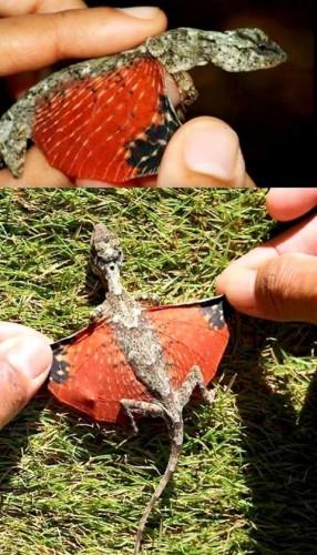 Draco volans Proves Dragons Do Exist!