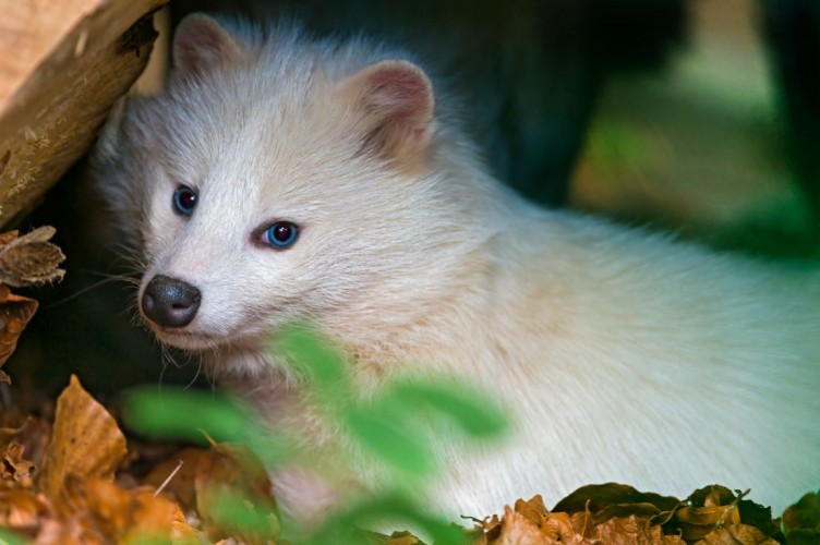 white raccoon dog, Nyctereutes procyonoides