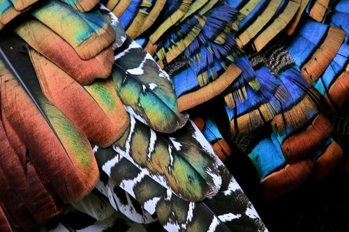 ocellated turkey feathers