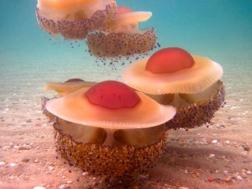 fried egg jellyfish, Cotylorhiza tuberculata