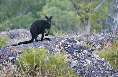 The Mysterious Black Wallaroo