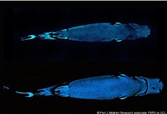 Cookiecutter Sharks Gouging Flesh Fishies Featured Creature