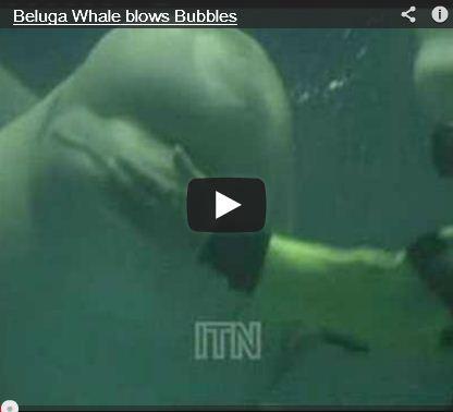 Beluga Tricks