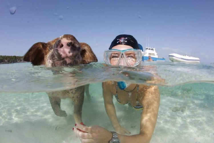 swimming pigs, pig island