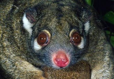 A Naked, Green Ringtail Possum