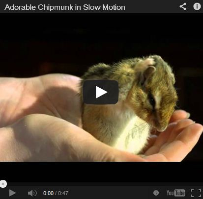 A Chipmunk Bath – In Slow Motion!