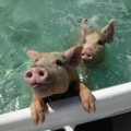 swimming pigs, pig island (4)