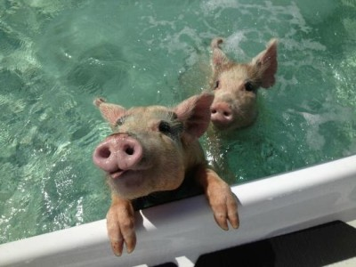 Animal Islands: Swimming Pigs of Big Major Cay