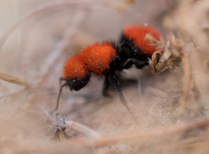 Fuzzy Doesn't Mean Friendly: Red Velvet Ants