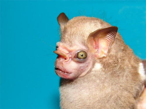 Want to See the Ugliest Bat In the World?