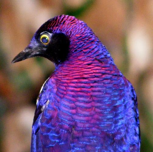 violet-backed starling, amethyst starling, Cinnyricinclus leucogaster