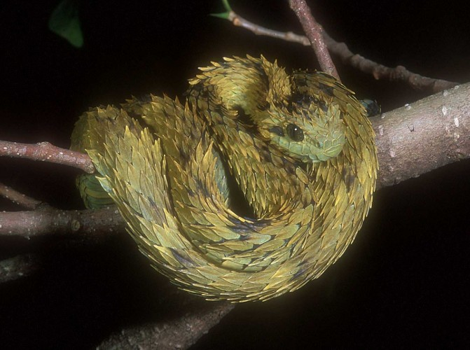 Hairy Bush Viper. Atheris hispida