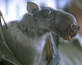 hammer-headed fruit bat