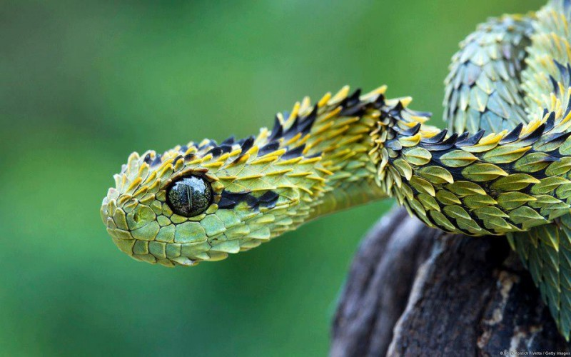 SSSSeriously SSScaly Bro: The Hairy Bush Viper