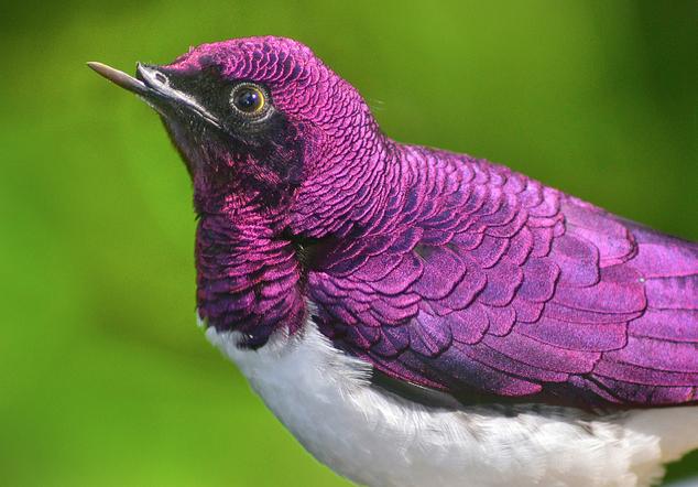 amethyst starling, violet-backed starling, Cinnyricinclus leucogaster