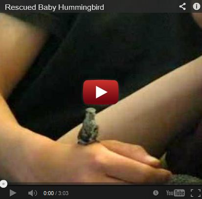Rescued Baby Hummingbird (Video!)
