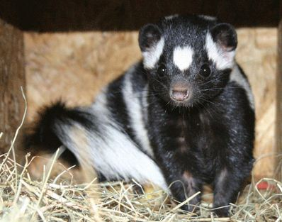 Spotted Skunks Have Stinky Nipples, Just FYI
