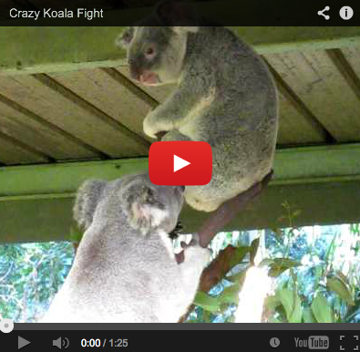 The Most Bizarre (Real!) Video Ever: Koala Fight