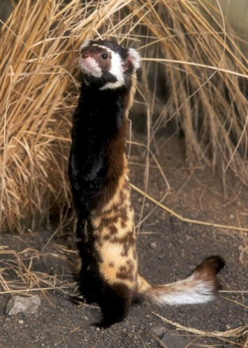 Marbled Polecat: Honey I Shrunk Your Spotted Hyena ...