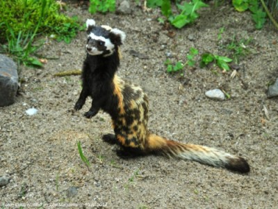 Marbled Polecat: Honey I Shrunk Your Spotted Hyena