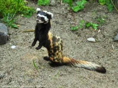 Marbled Polecat: Honey I Shrunk Your Spotted Hyena