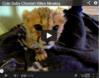 "Baby Cheetah ""Meowing"""