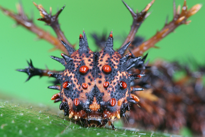 Ugly Until Adulthood: Commander Caterpillars