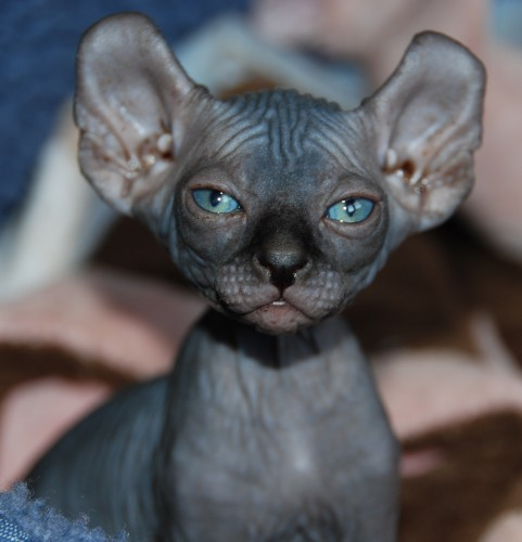 6 Strange Breeds of Hairless Cats