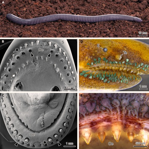 ringed caecilian venom glands