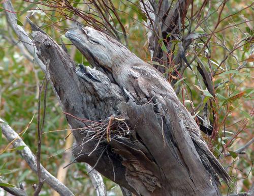 tawny frogmouth, Podargus strigoides