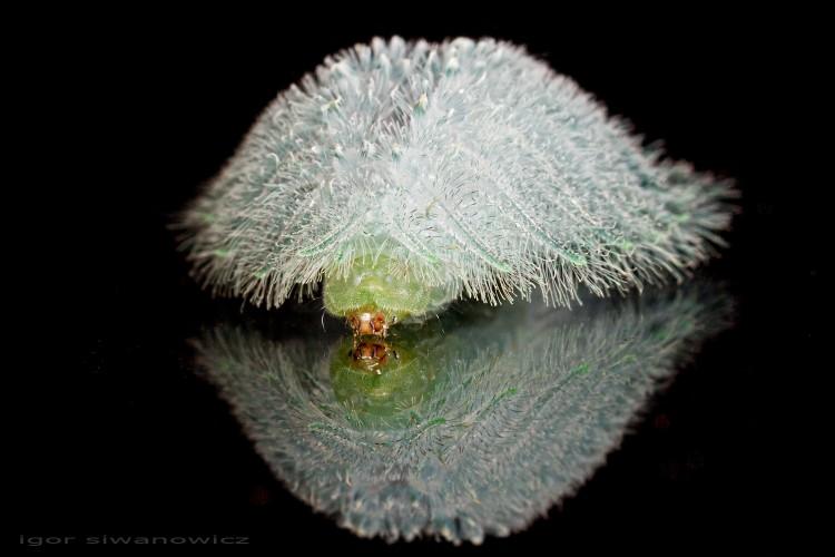 spun glass caterpillar, Isochaetes beutenmuelleri (1)