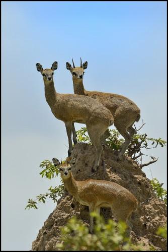 klipspringer  the adorable  u0026 39 rabbit u0026 39  antelope of africa