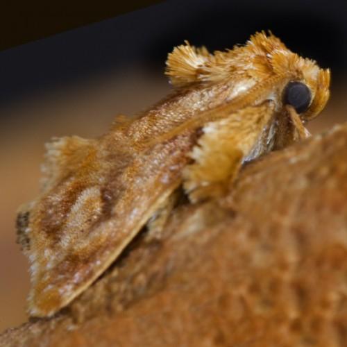 spun glass caterpillar, Isochaetes beutenmuelleri (2)