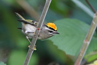 Golden-crowned Kinglet: the Bird on Fire