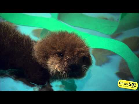 And Now Some Baby Otter Fluff