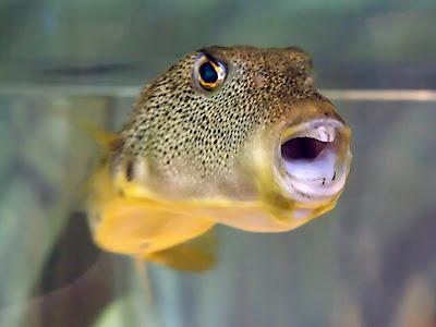guineafowl pufferfish