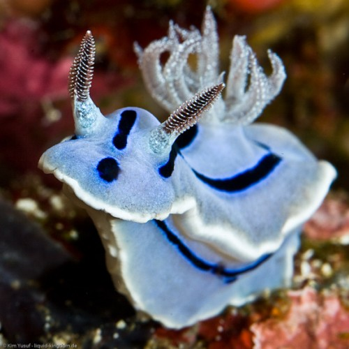 Chromodoris willani, blue nudibranch (2)
