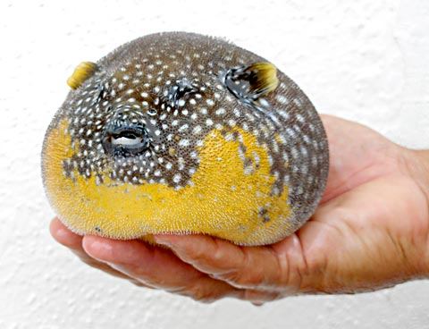 Puff, Puff, and Away! Guineafowl Pufferfish