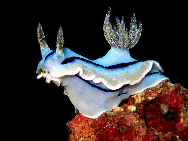 Chromodoris willani, blue nudibranch (3)