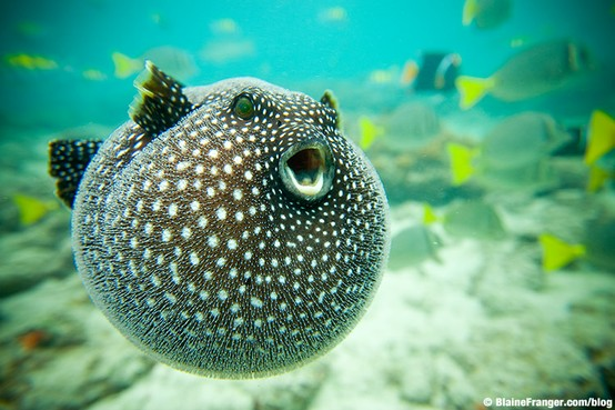 Puff puff and away guineafowl pufferfish featured for Giant puffer fish
