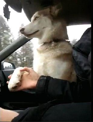 Hold My Paw! It's the Best Way to Drive Around, Don't Ya Know?