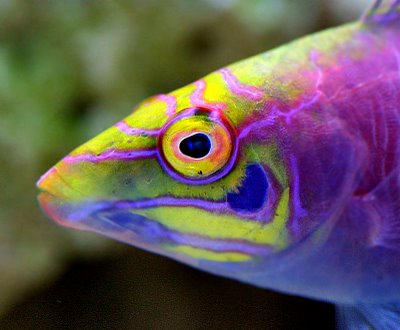 The Mesmerizingly Fantastic Mystery Wrasse