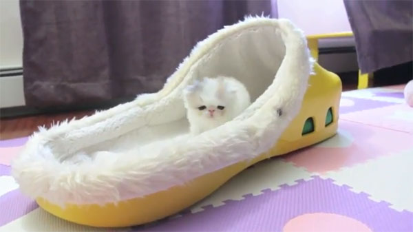 Marshmallow the Kitten Who Lives in a Shoe