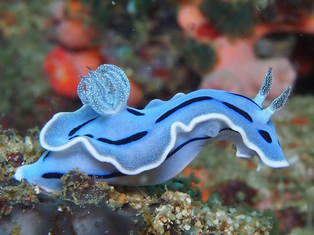 blue nudibranch (1)