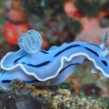 Chromodoris willani, blue nudibranch (1)