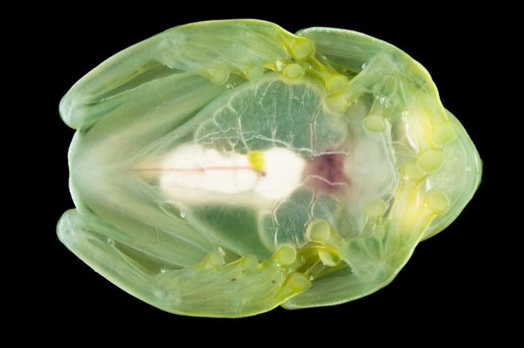 glass frog, Centrolene ilex