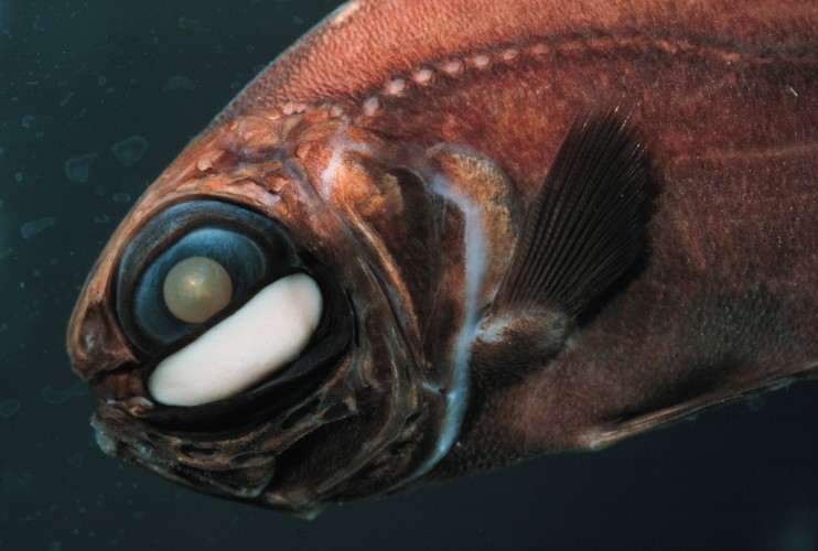 Can't See? Just Use Your Handy Dandy Flashlight Fish ...