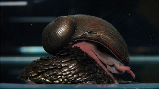 scaly foot gastropod, Crysomallon squamiferum (1)