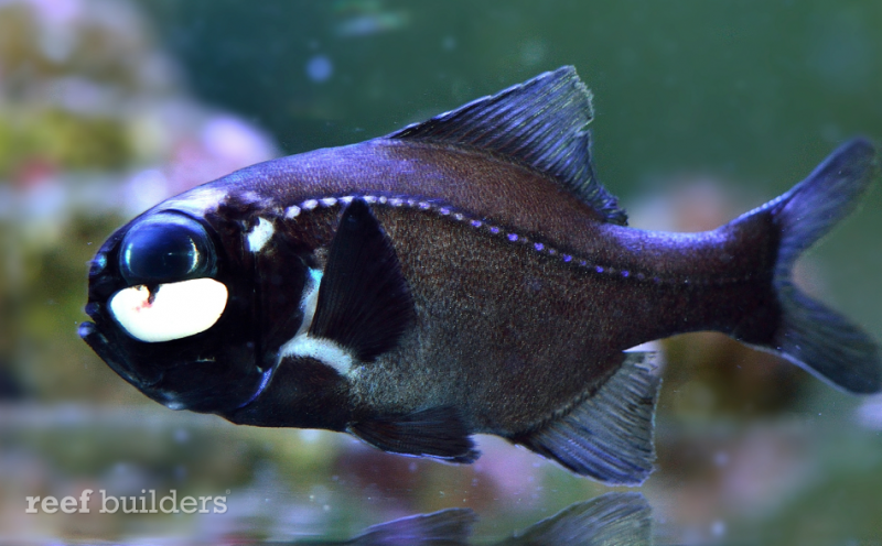 flashlight fish, Photoblepharon palpebratus
