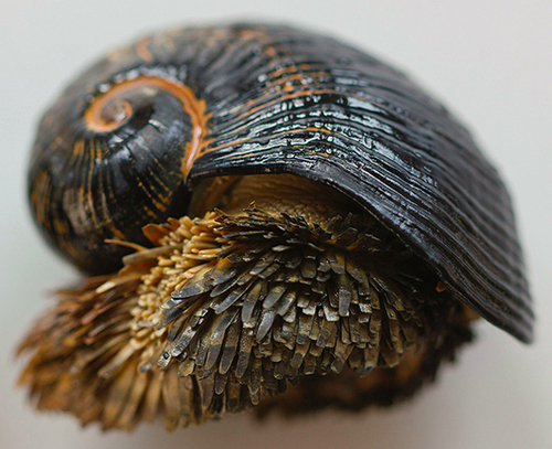 scaly foot gastropod, Crysomallon squamiferum